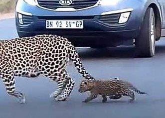 O mamă leopard a fost surprinsă în timp ce își ajuta puii să traverseze strada aglomerată!