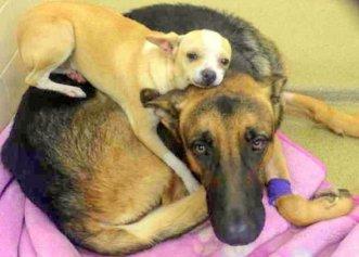 Chiar dacă nu au avut o viață ușoară, un Chihuahua și un Ciobănesc German au devenit de nedespărțit!
