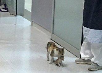 Imagini adorabile cu o pisică care își duce puiul bolnav la spital!