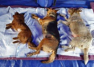 Acțiune amplă de sterilizare a animalelor de companie din Giurgiu! Peste 120 de câini și pisici în ultima lună
