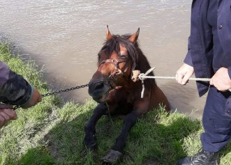 Salvare impresionantă a unui cal căzut în râul Mureș! Pompierii au intervenit la timp