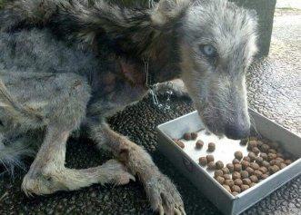 O transformare uimitoare a unui Husky aflat la un pas să moară de foame!