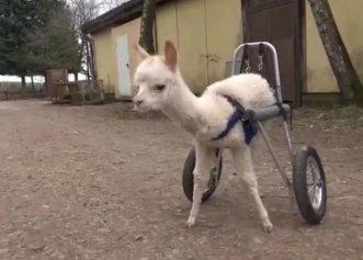Un ham cu roți, salvarea unui pui de alpaca născut cu un grav handicap! El a rămas orfan de la o vârstă fragedă