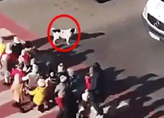 Un patruped cu totul special! Câinele protejează un grup de copii în timp ce trec strada