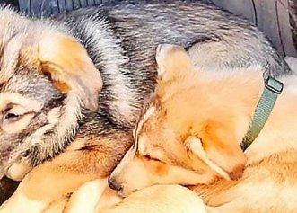 Salvat dintr-un adăpost, un câine face tot posibilul pentru a fi alături de fratele său orb!