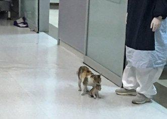O pisică a fost surprinsă în timp ce își ducea puiul la spital! Imaginile care au impresionat pe toată lumea