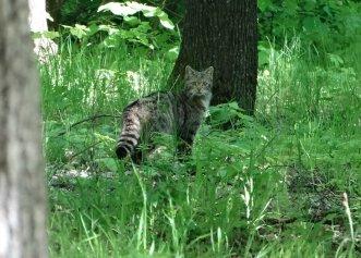 O pădure din Vaslui, locul unei întâlniri cu totul neobișnuite! O pisică sălbatică a fost surprinsă