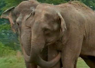 Întâlnirea emoționantă a unor elefanți după 22 de ani de captivitate! Cum au fost salvați de la circ