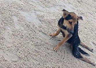 Nimeni nu voia să ajute câinele paralizat de pe plajă! Totul până când o turistă a intervenit