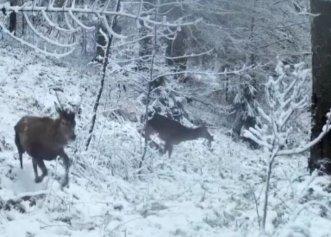 Imagini incredibile surprinse în Munții Apuseni! Un cerb începe să se joace în zăpadă alături de un grup de ciute