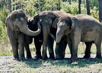 O rezervație semi-sălbatică din Florida, noua casă a 12 elefanți eliberați de la circ!