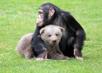 Un pui de urs și un cimpanzeu au devenit cei mai buni prieteni! Imagini adorabile de la o grădină zoo