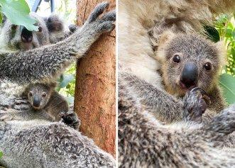 Premieră pentru grădina zoologică din Sydney! A ieșit în public primul pui de koala născut în ultimul an