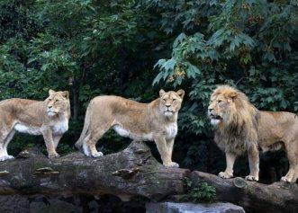 Doi lei, doi tigri, un jaguar și un urs au EVADAT de la ZOO. Autoritățile, ÎN ALERTĂ din cauza pericolului