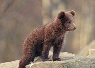 A fost găsit un pui de urs într-o exploatare forestieră din județul Argeș!
