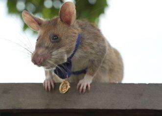Povestea unui adevărat erou! Magawa, șobolanul care a salvat o mulțime de vieți