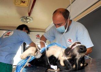 Cum este recuperarea unui câine, dupa sterilizare?