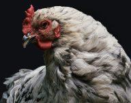 De ce nu trebuie să pupați găinile. Avertismentul autorităților a